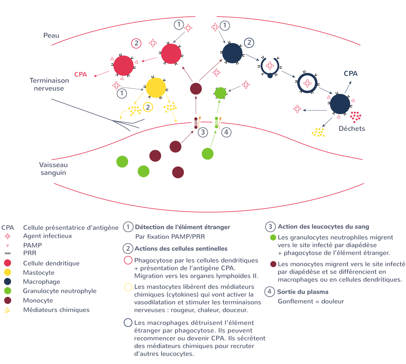 immunité innée schéma synthèse