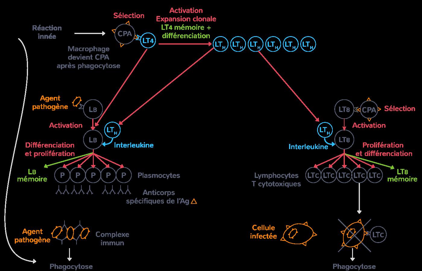 immunité adaptative schéma synthèse