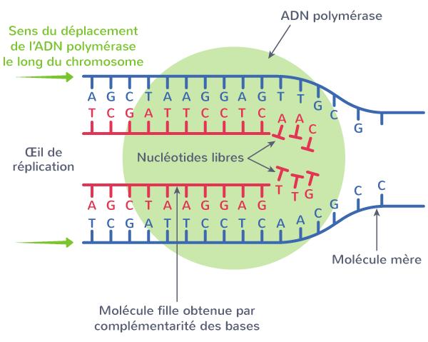 ADN polymérase protéine réplication