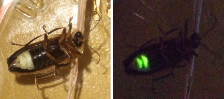 Deux vues d'une luciole, sous éclairage différent