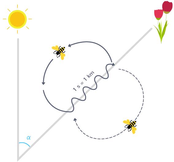 Schématisation d'une danse des abeilles