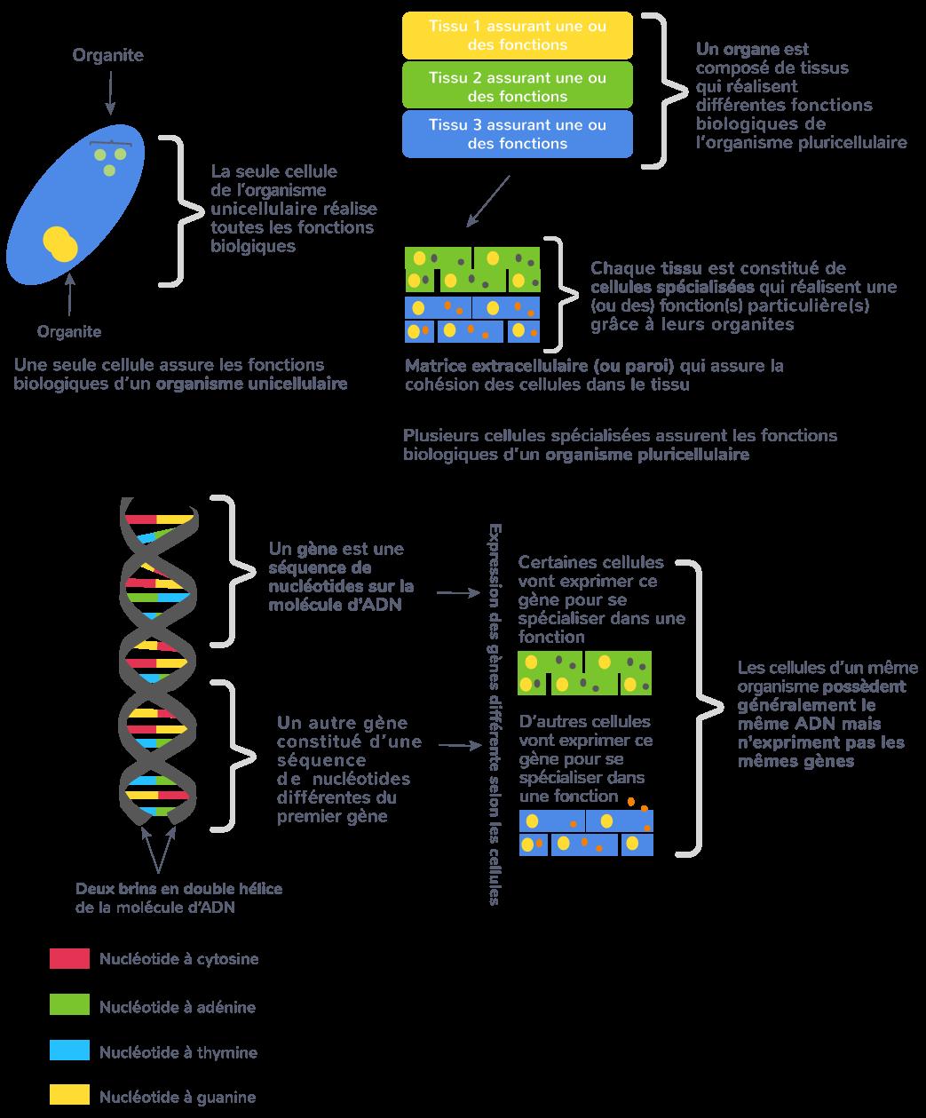 organisme pluricellulaire ensemble cellules spécialisées