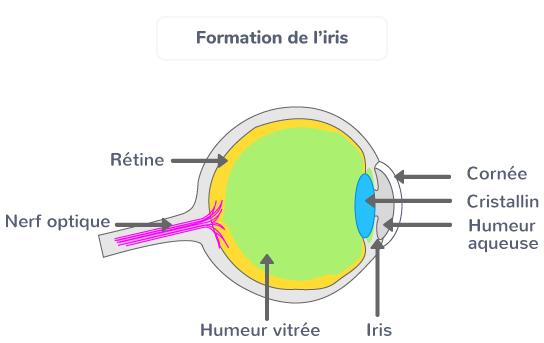 Formation de l'iris