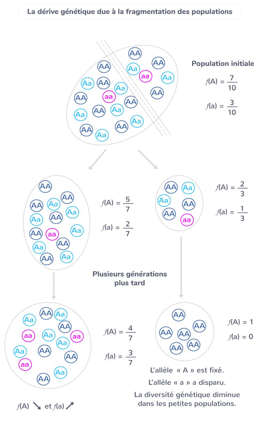 La dérive génétique due à la fragmentation des populations