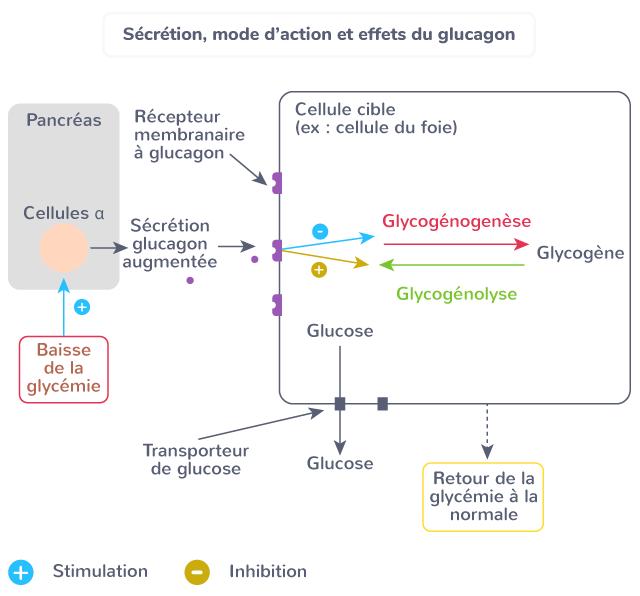 sécrétion mode d'action effets glucagon glucose flux